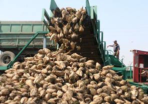 Заводы приступили к переработке сахарной свёклы